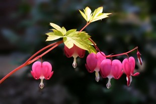 Dicentra spectabilis 'Gold Heart' © David Steel