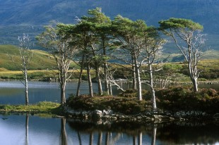 Trees on Loch Assynt © David Steel